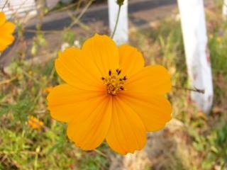 fall_flower.JPG