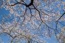 08年桜@立川公園