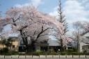 2009年の桜 花>団子 国立アントルメ;4月6日