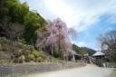 青梅 梅岩寺の枝垂れ桜