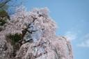 梅岩寺の枝垂れ桜